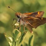 Umber Skipper Butterfly !