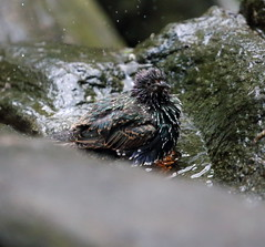 starling in the bath