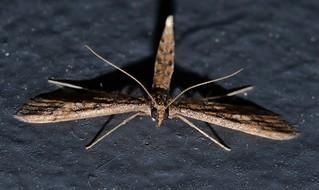 Aeroplane wing moth Hydriris chalybitis Spilomelinae Crambidae Mandalay rainforest Airlie Beach P1000929