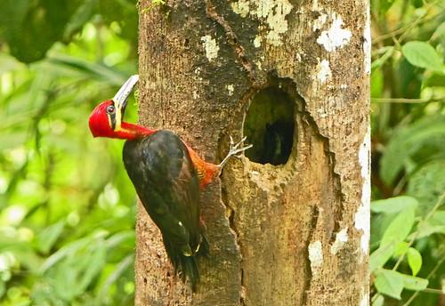 Carpintero Selvático, Crimson-bellied Woodpecker, Splendid Woodpecker (Campephilus haematogaster) (Campephilus haematogaster splendens) (Campephilus splendens)