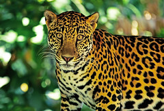 Jaguar - Costa Rica