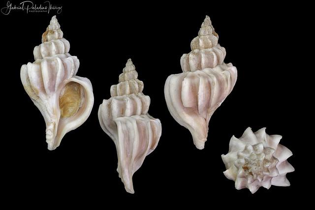 Trophon plicatus (Lightfoot, 1786)
