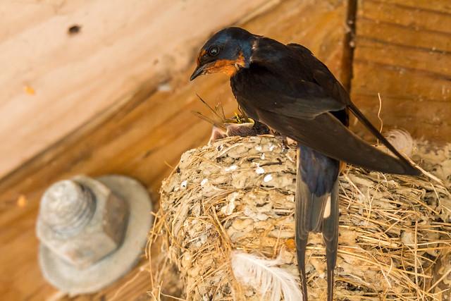 Barn Swallows Nesting