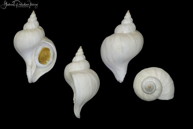 Trophon patagonicus (d'Orbigny, 1839)