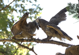 Great Gray Owl feeds fledged juvenile