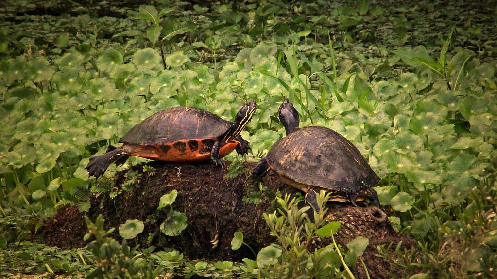 2018.06.21 La Chua Trail Turtles 1