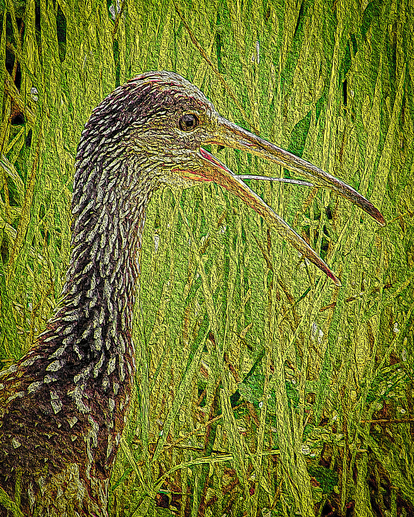 2016.06.21 La Chua Trail Limpkin 1 art