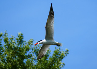 Caspian Tern over the Speed River