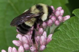 Bombus affinis on Joe Pye Weed ED 080619