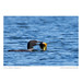 Common loon (Gavia immer) with sunfish