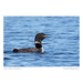 Common Loon Calling (Gavia immer)