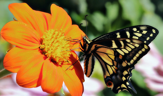 Anise swallowtail on Mexican sunflower
