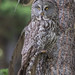 Hiding In Plain Sight (Great Grey Owl)