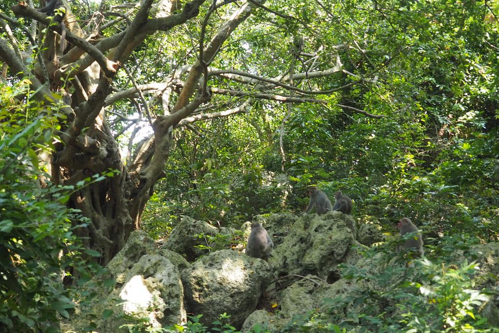 柴山因過去長期軍事管制保留原始山林生態,台灣獼猴是代表野生動物。攝影:李育琴