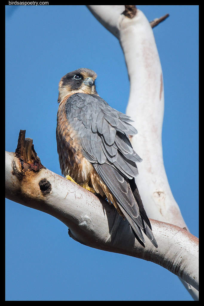 Australian Hobby: Surveying the Carpark