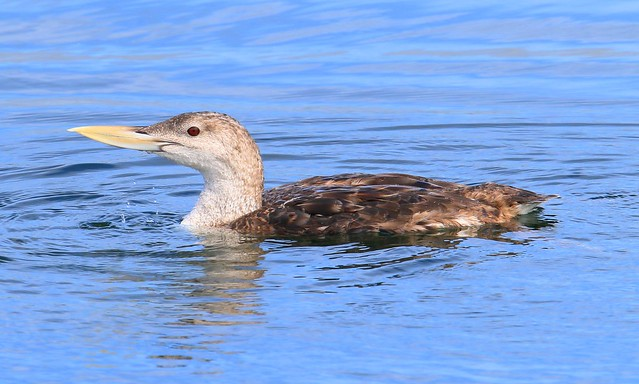 yellow-billed loon at Brushy Creek State Park IA 653A4859
