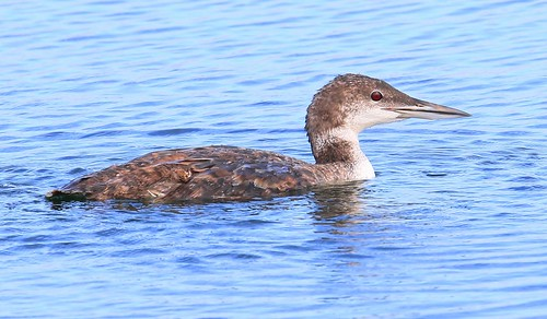 common loon brushy creek state park webster county iowa larry reis