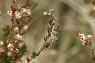 49.201 Ancylis unguicella, Muir of Dinnet NNR, Aberdeenshire