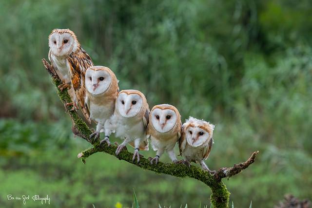 Family of Barn Owls