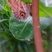 Caligo Butterfly Hortus Botanicus @ Amsterdam