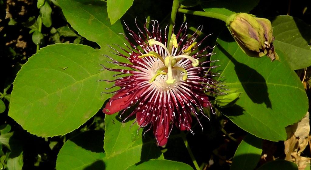Passion flower_Passiflora 'Lady Margaret'_Passifloraceae 1