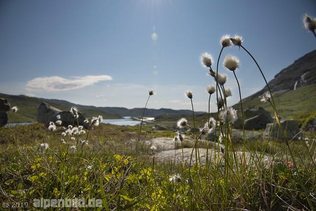 Wollgras am Haukelivegen, hinten der See Stavatn