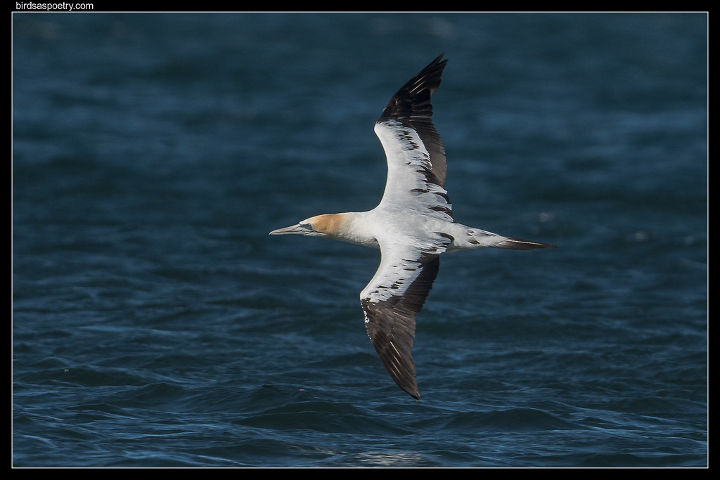 Australasian Gannet: Hunting the shoreline