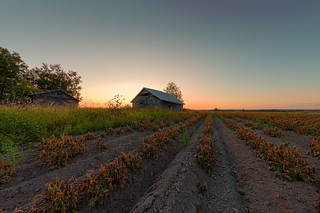 Sunset Over The Potato Rows