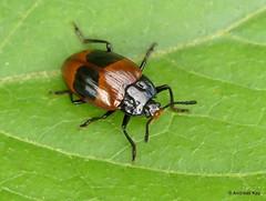 Pleasing Fungus Beetle, Erotylidae