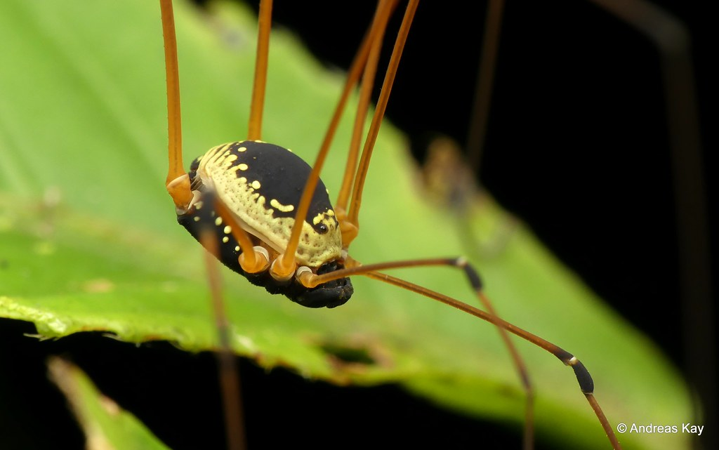 Harvestman, Sibambea rotunda
