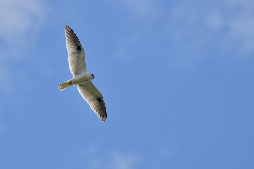 Black- shouldered Kite ( Looking for dinner )