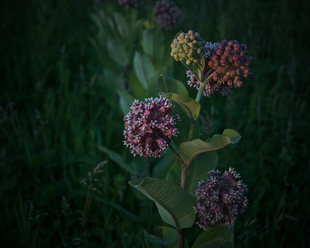 milkweeds, at dusk, 7-11-19