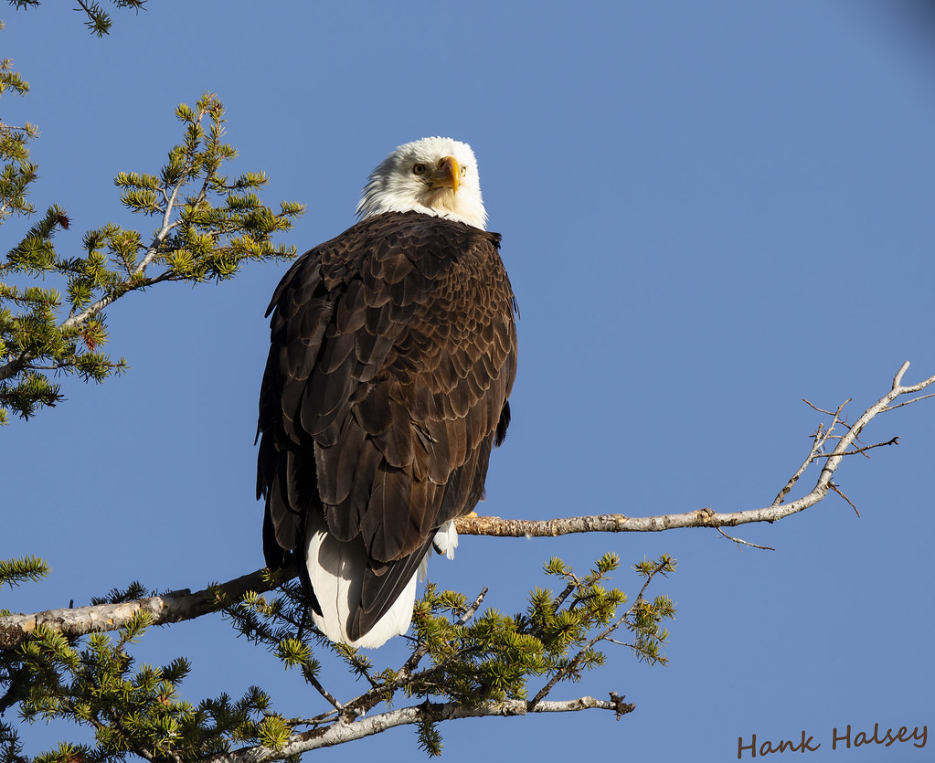 Standing guard over the Madison River