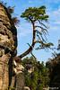 Verknöcherter Baum an der Bastei #2