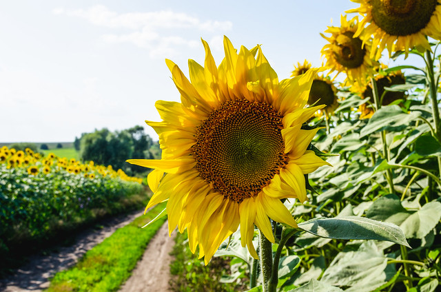 Sunflower and road