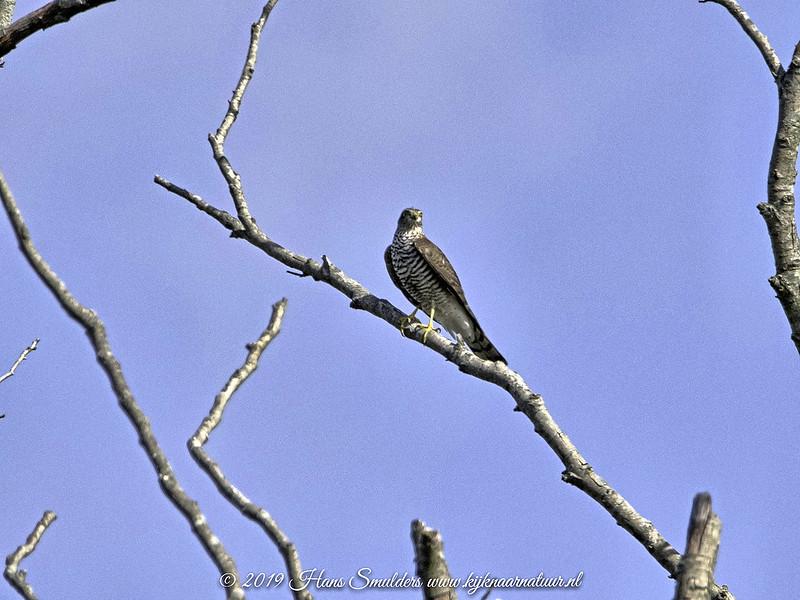 Sperwer (Accipiter nisus)-