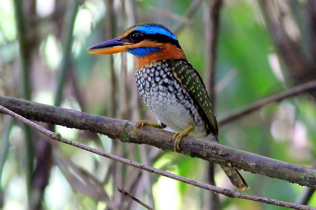 Negros Spotted Kingfisher (Actenoides lindsayi moseleyi)