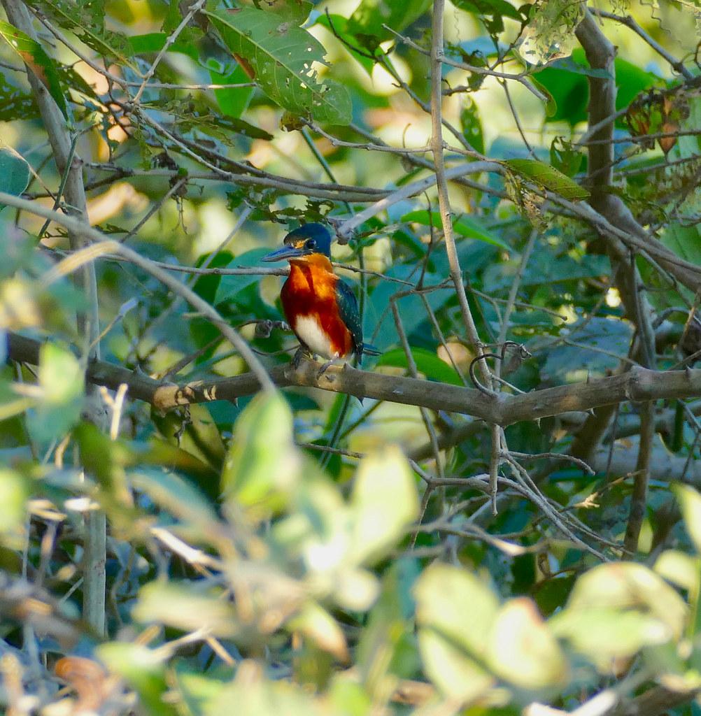 American Pygmy Kingfisher (Chloroceryle aenea) male ...