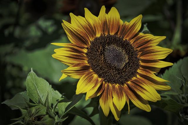 Barton Sunflower 2