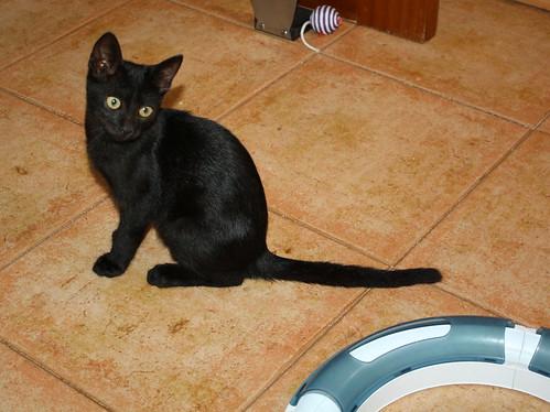 Pocahontas, gatita negra guapísima y dulce esterilizada, nacida en Mayo´19 en adopción. Valencia.  48576625641_25f7edc58a