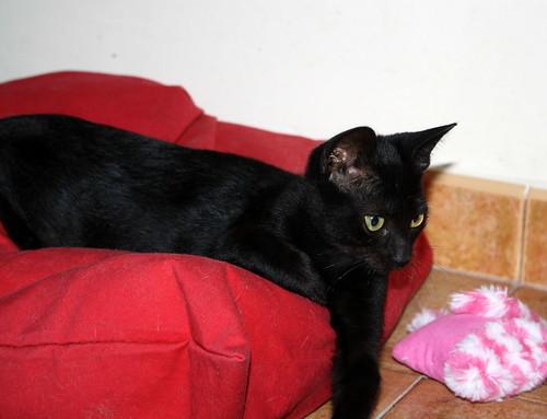 Pocahontas, gatita negra guapísima y dulce esterilizada, nacida en Mayo´19 en adopción. Valencia.  48576631051_86637cde02
