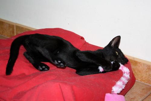 Pocahontas, gatita negra guapísima y dulce esterilizada, nacida en Mayo´19 en adopción. Valencia.  48576631966_d2cf4aca62