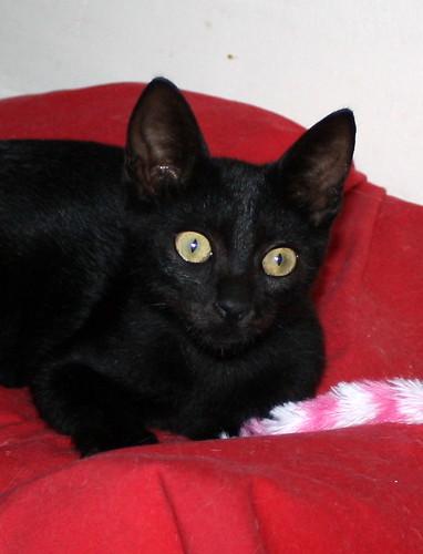 Pocahontas, gatita negra guapísima y dulce esterilizada, nacida en Mayo´19 en adopción. Valencia.  48576632981_fb067476e6