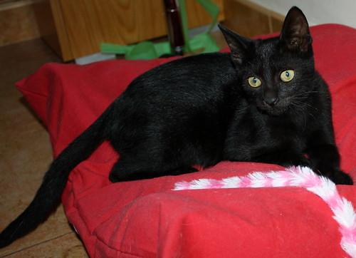 Pocahontas, gatita negra guapísima y dulce esterilizada, nacida en Mayo´19 en adopción. Valencia.  48576634006_62b5393790
