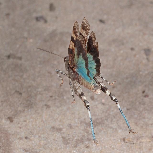 Rolf_Nagel-Fl-2264-Oedipoda caerulescens