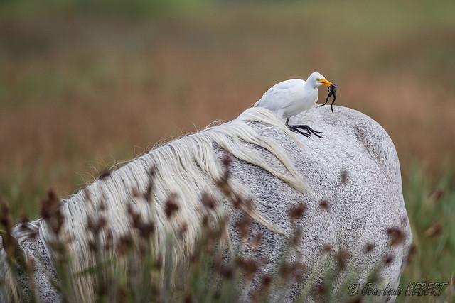 Héron garde-boeufs avec une grenouille