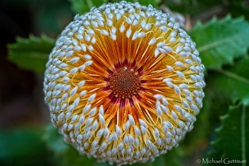 flower ucsantacruz arboretum botanicgarden california macro closeup