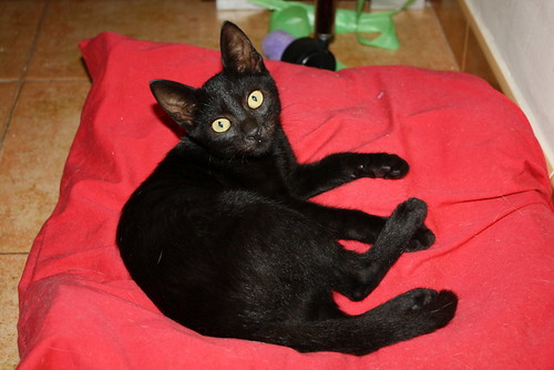 Pocahontas, gatita negra guapísima y dulce esterilizada, nacida en Mayo´19 en adopción. Valencia.  48576770597_a269833436