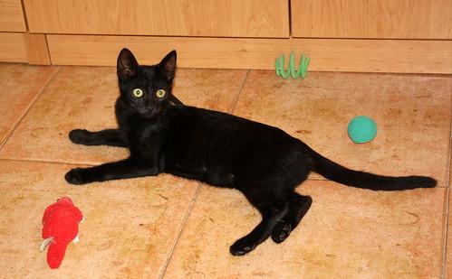 Pocahontas, gatita negra guapísima y dulce esterilizada, nacida en Mayo´19 en adopción. Valencia.  48576775082_1f4fcbd7b1