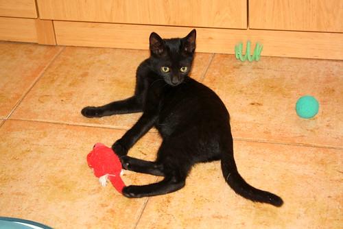 Pocahontas, gatita negra guapísima y dulce esterilizada, nacida en Mayo´19 en adopción. Valencia.  48576776407_09d069a495